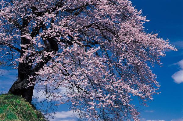 富士フィルムさま主催「花咲けニッポン! サクラ・さくら・桜」仙台展にパネルにて参加させていただきます。