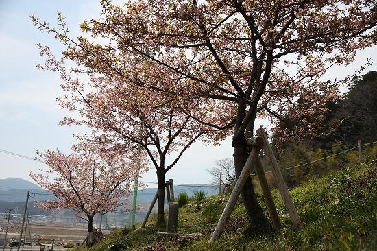 2014年4月15日浄土寺の桜が見頃を迎えました。