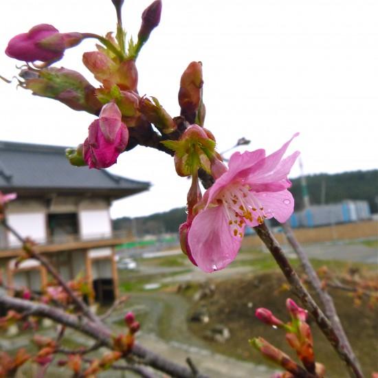2014年4月4日浄土寺の桜が開花しました。